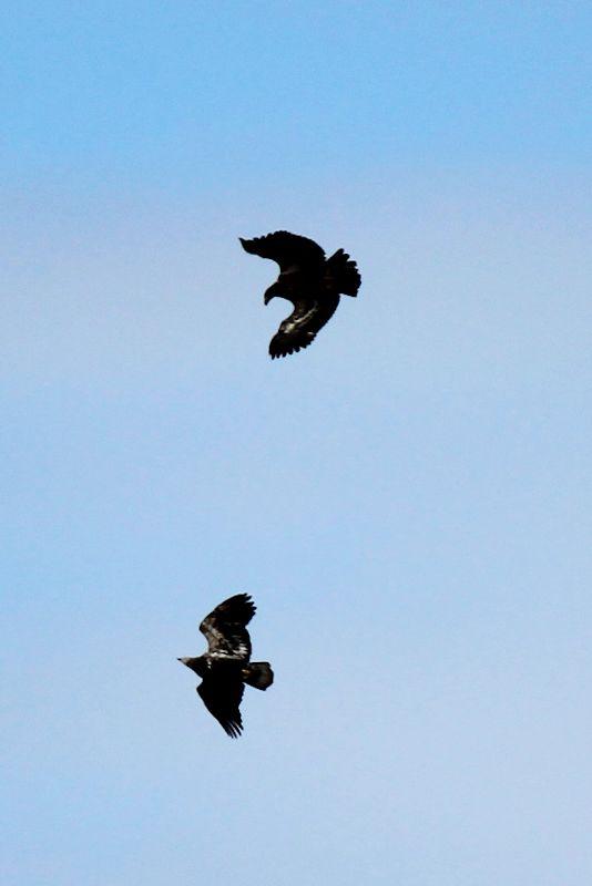 eagles©Virginia Spencer, thepurpledogpaintingblog, 2013