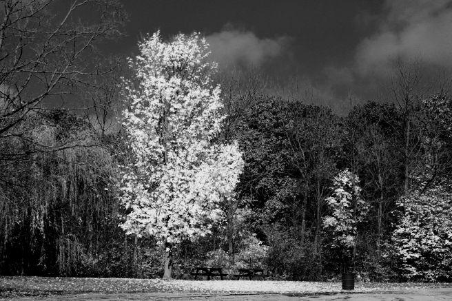 whitetree©Virginia Spencer, thepurpledogpaintingblog, 2013