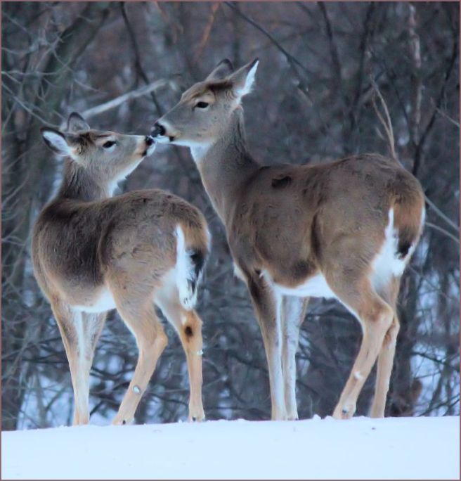 deerkiss©Virginia Spencer, 2014