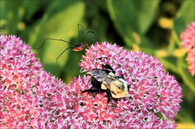 Daddy long legs and bumble bee on a flower