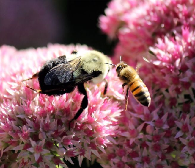 bumble bee and honey bee on a flower