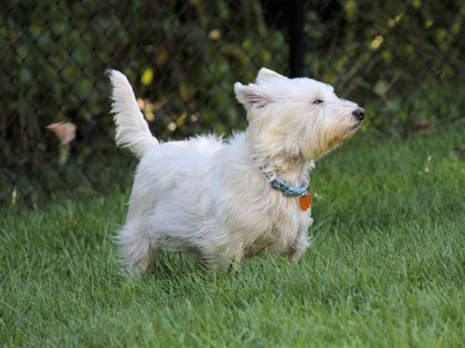 westie-wind-photography