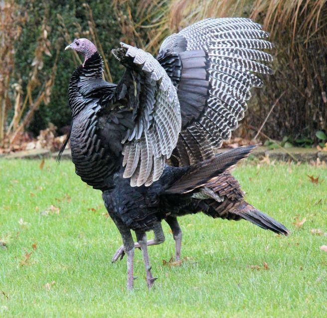 thanksgiving_turkey_illinois