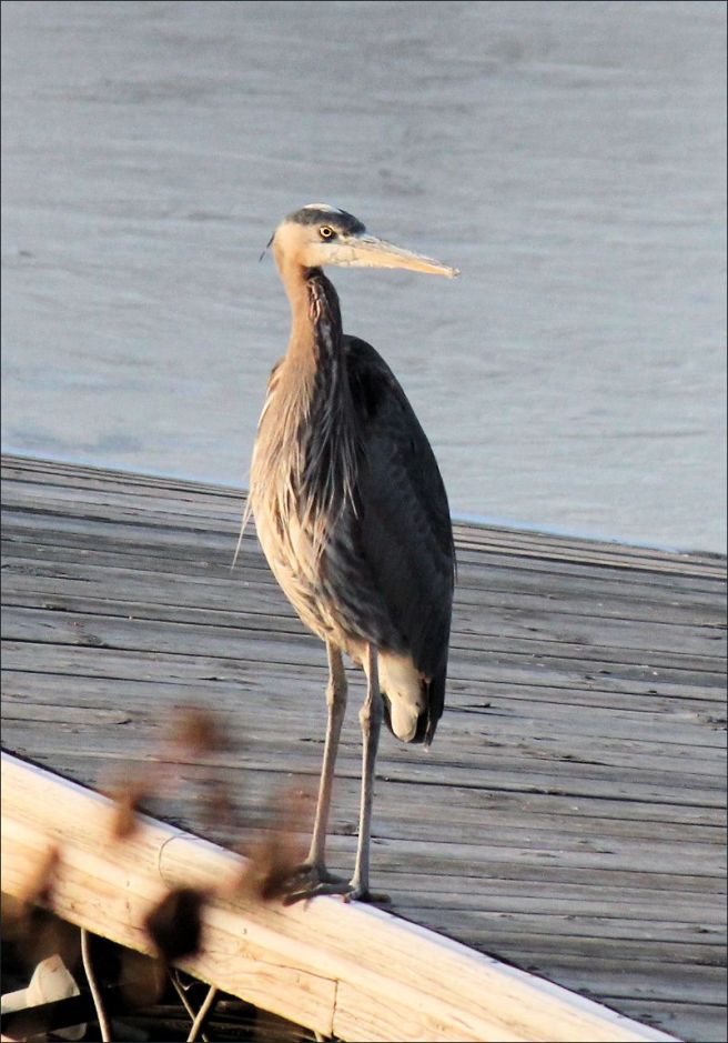 A blue heron fishing in icy waters.
