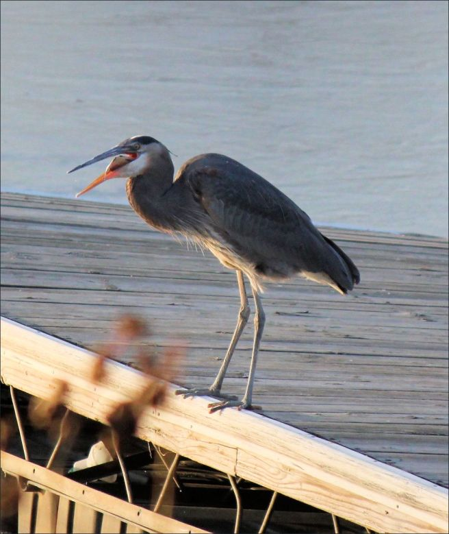 heron_fish_fishing