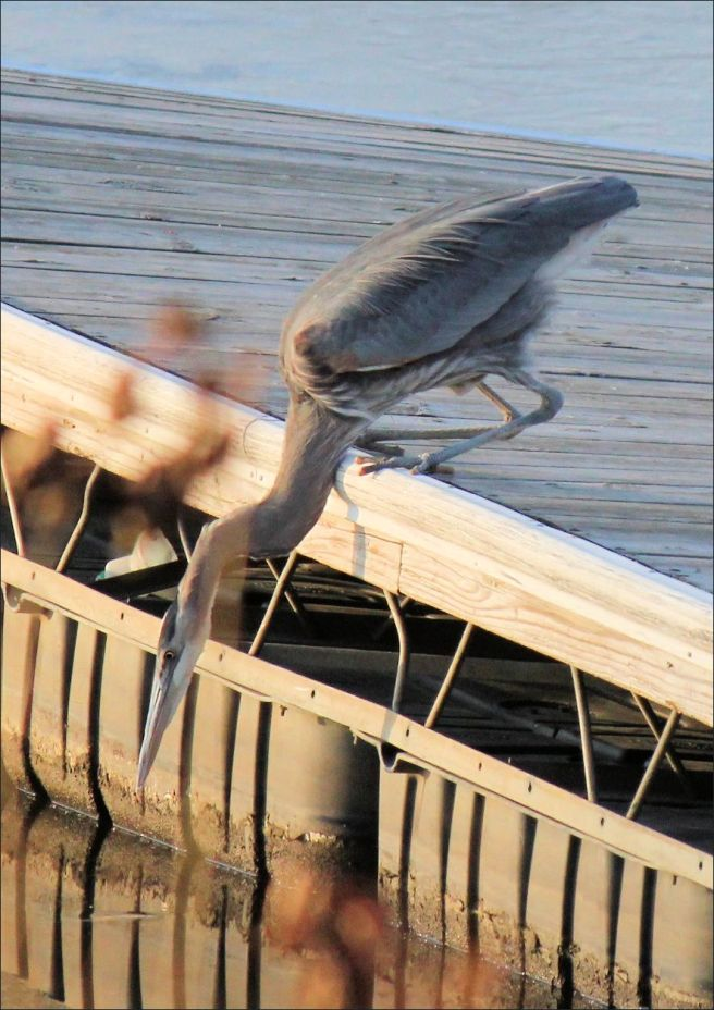 A blue heron fishing in an icehole.
