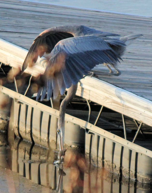 A blue heron fishing.