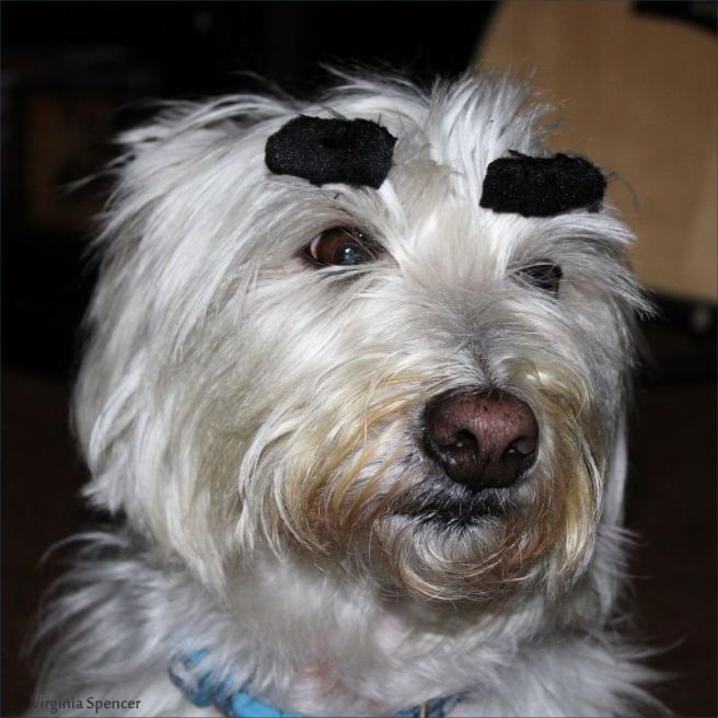 westie_dog_eyebrows