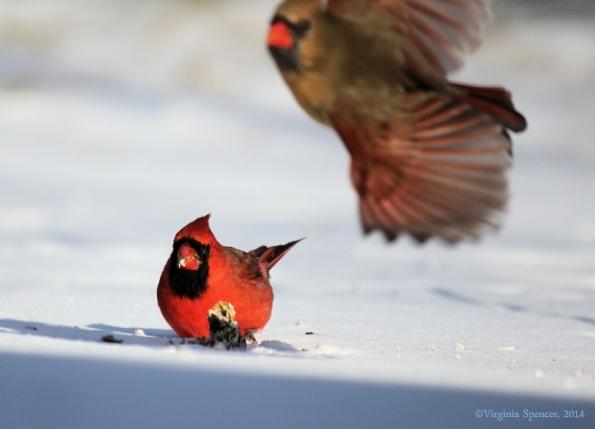 cardinal_male_female_suet