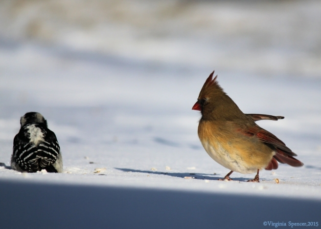 A female cardinal and a woodpecker