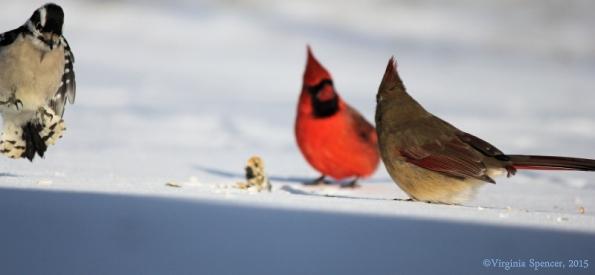 woodpecker_cardinal_female_male