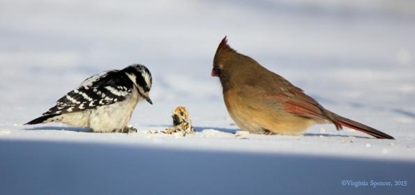 woodpecker_cardinal_female_suet