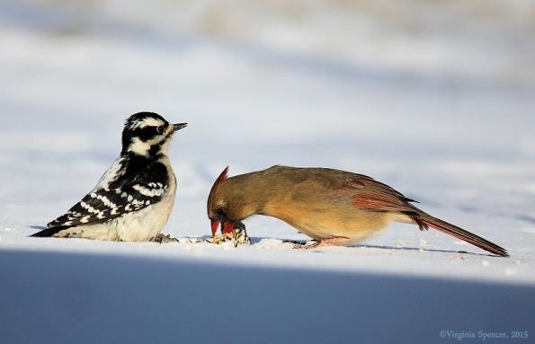 woodpecker_cardinal_suet_female
