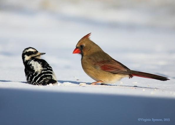 woodpecker_female_cardinal_intimidation
