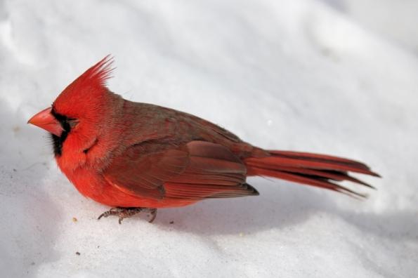 cardinal_red_tree (3)