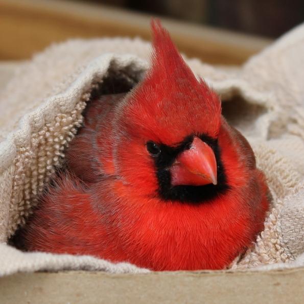 cardinal_red_tree (4)
