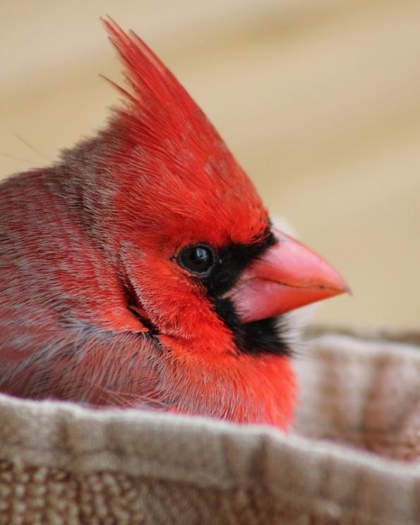 cardinal_red_tree (5)