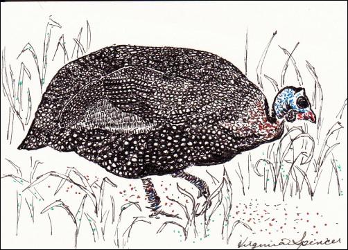 helmetedguineafowlatc