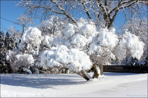 maple_tree_winter_snow