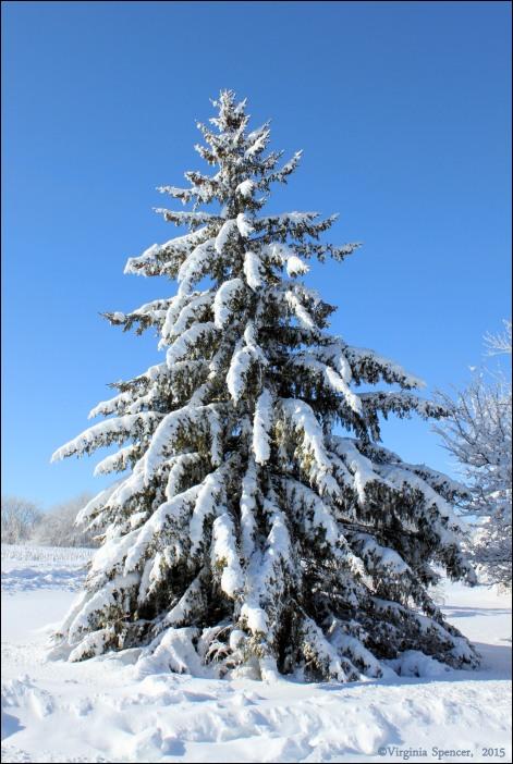 tree_fir_winter_snow