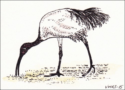 whiteibisatc