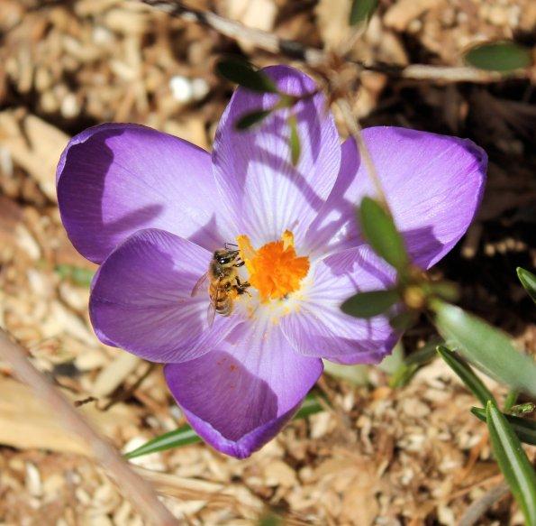 crocus bee flowers purple