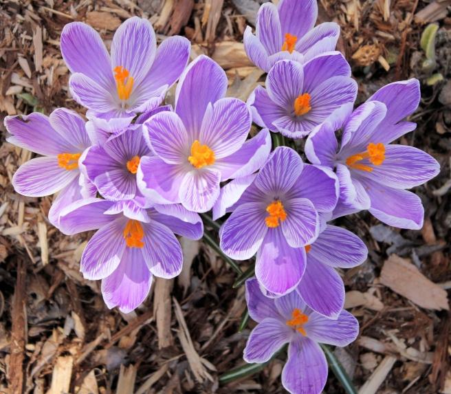 crocus purple flowers