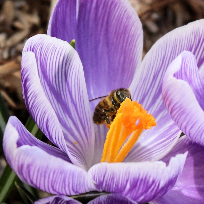 crocus_bee_flower
