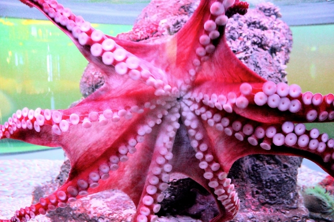 red_octopus_aquarium