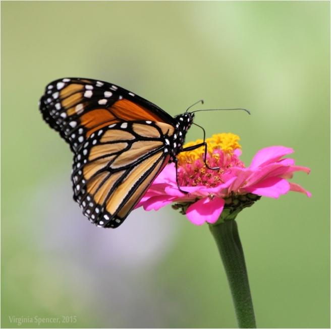 butterfly_monarch_flower_garden