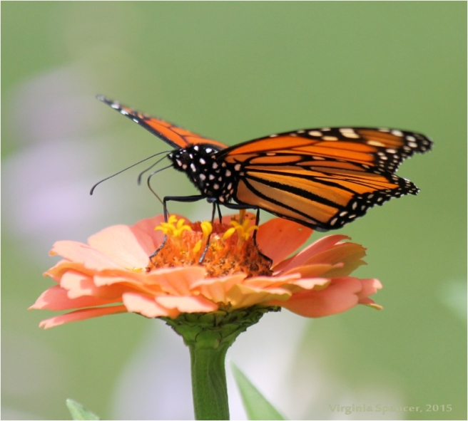 Butterfly_monarch_wings_flower