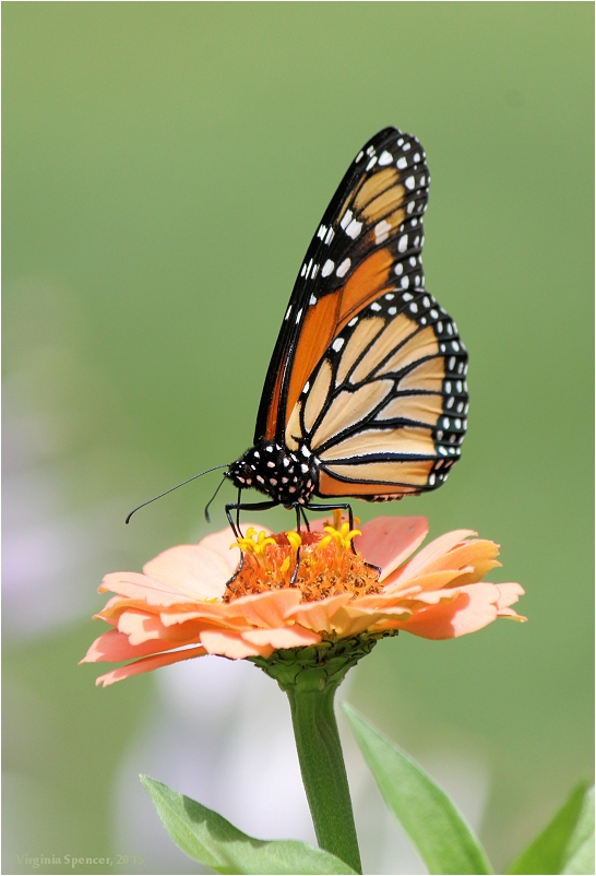 Monarch_ butterfly_flower_garden