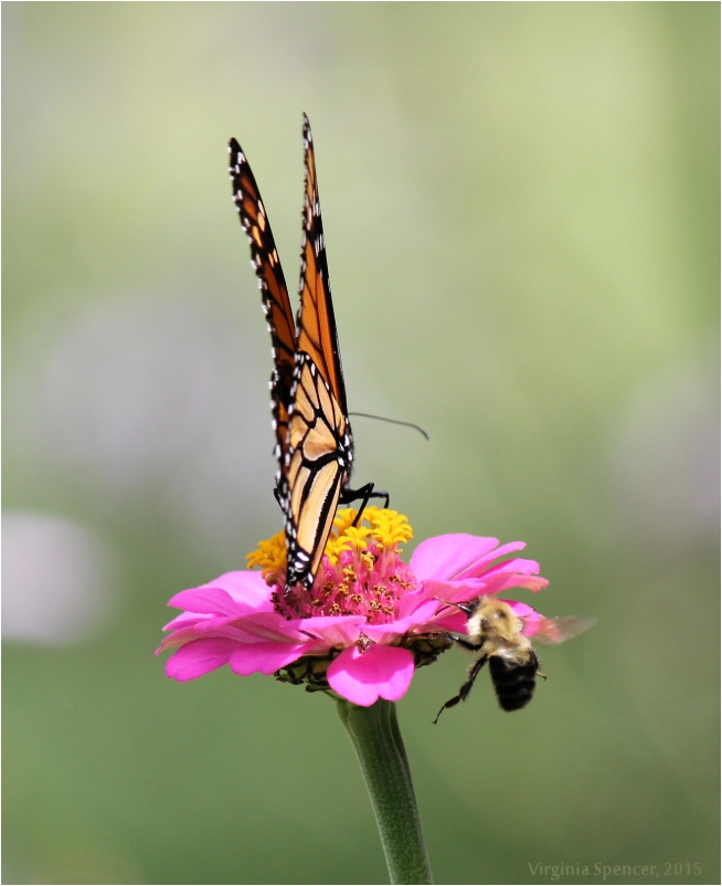 Monarch_butterfly_bee_flower
