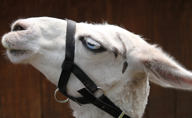 llama blue eyes heterochromia