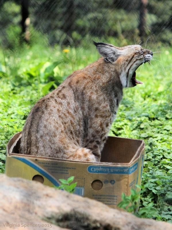 lynx box cat feline