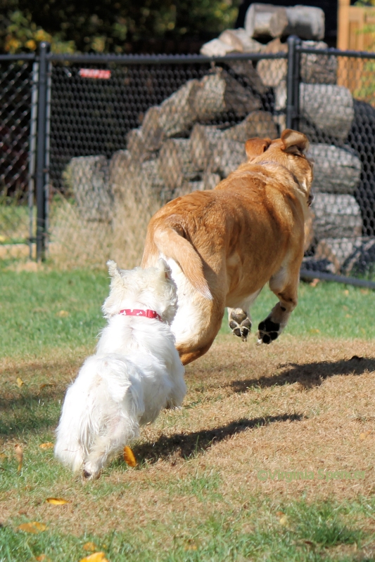 Zeus Sampson lab westie jump play