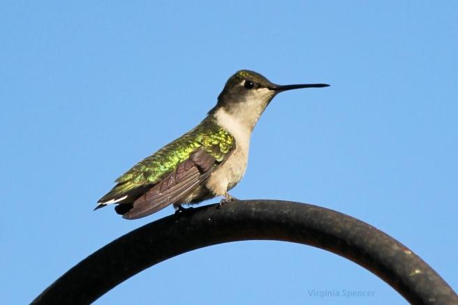 blog hummingbird green irredescence