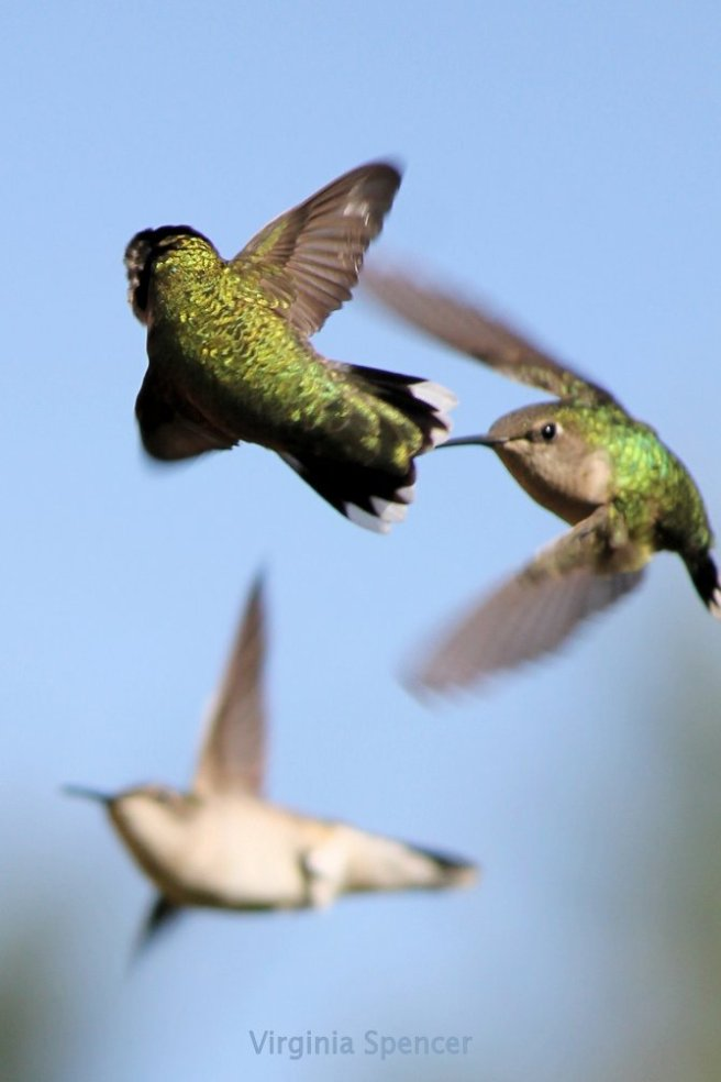 blog hummingbirds fly dance