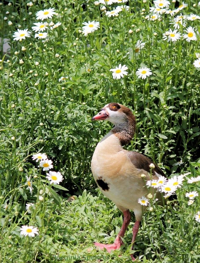 goose daisies bird