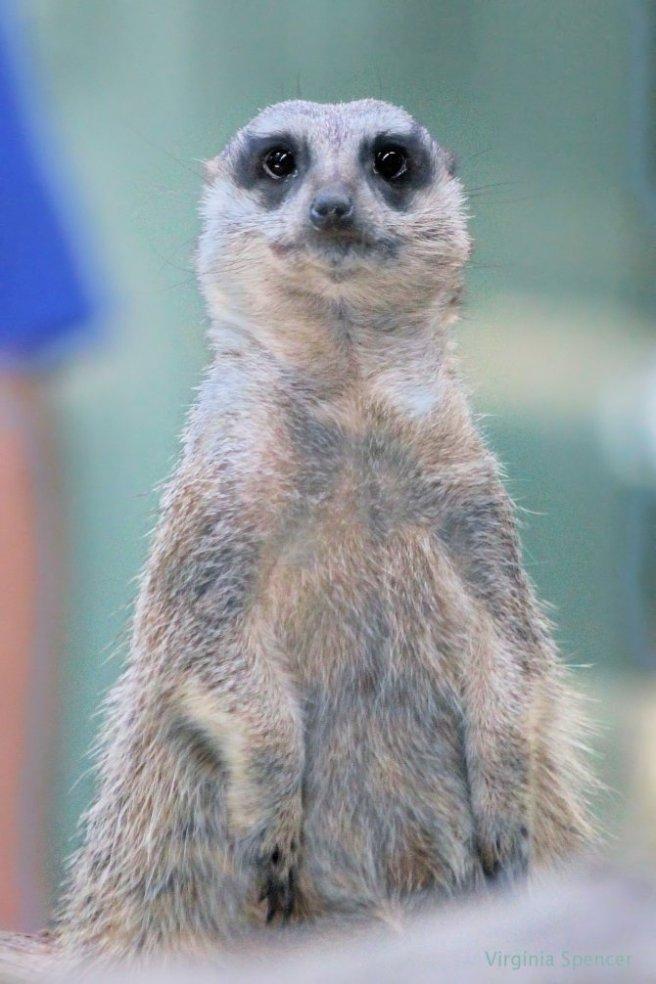 blog pensive meerkat