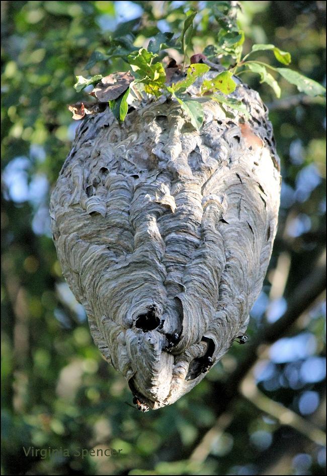 hornet-nest-hanging