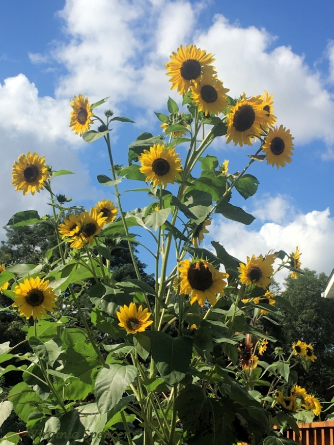 blog-sunflowers-gardening-large