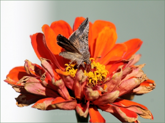 moth-zinnia-flower-insect