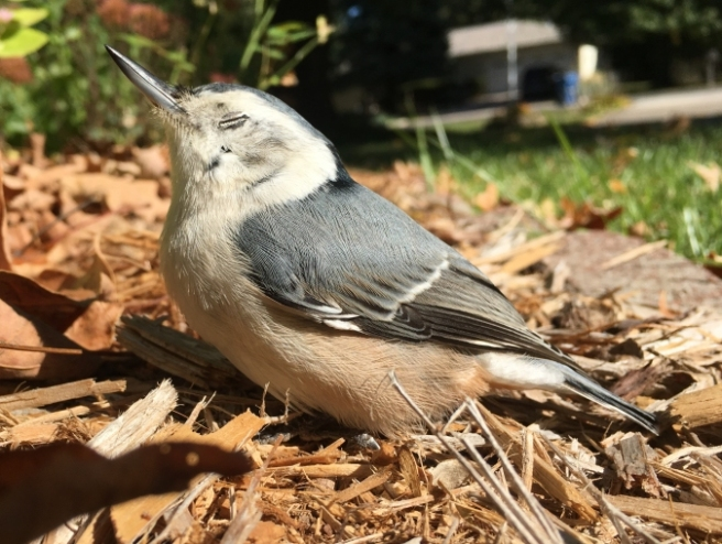nuthatch-rose-breasted-bird