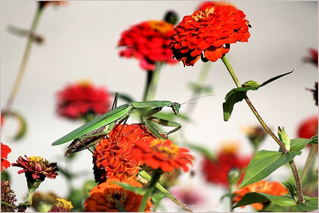 praying-mantis-flowers-insect