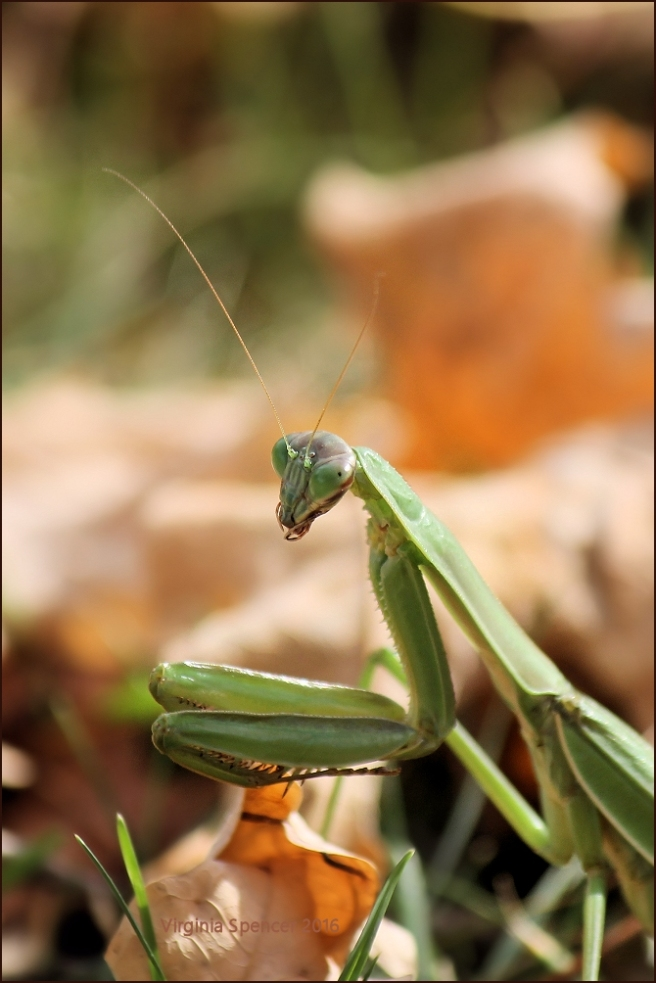 praying-mantis-insect-photography