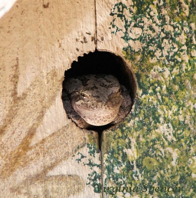 smiling-tree-frog