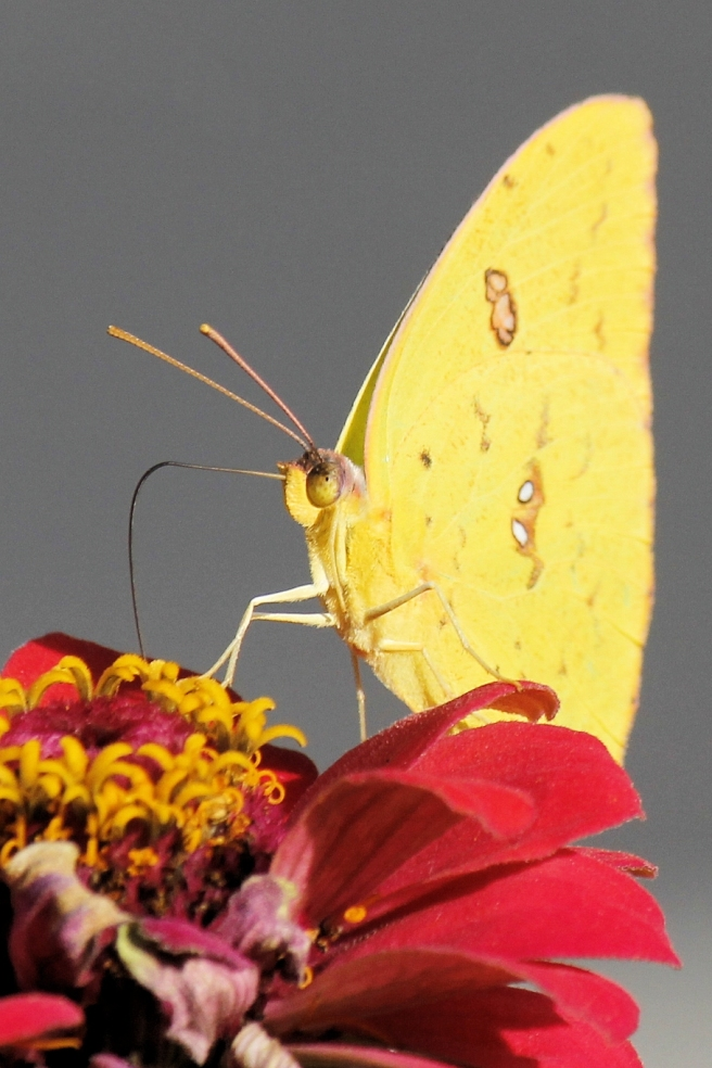yellow-butterfly-photography
