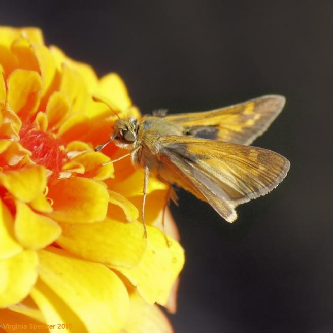fiery-skipper-moth-insect